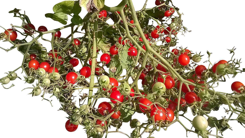 Johannisbeertomate -Wildtomate,Buschtomate- 10 Samen RARITÄT Samenchilishop