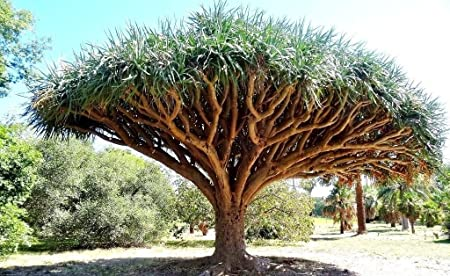 Amazon Com Dragon S Blood Tree Dracaena Draco Rare Canary