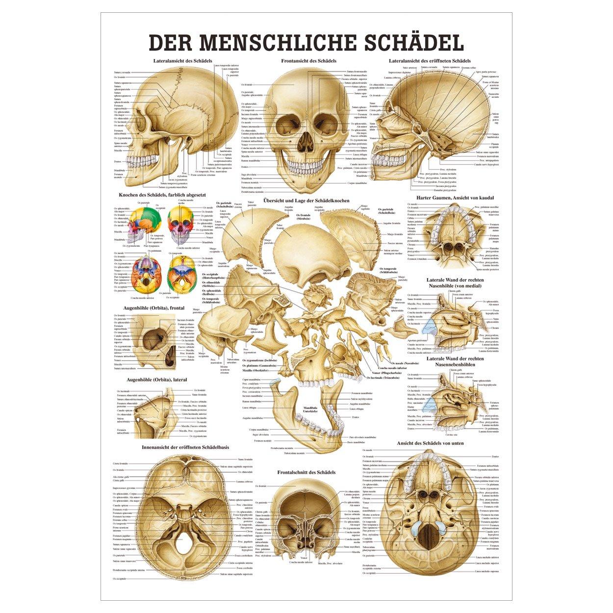 Fein Anatomie Der Schädelbasis Galerie - Menschliche Anatomie Bilder ...