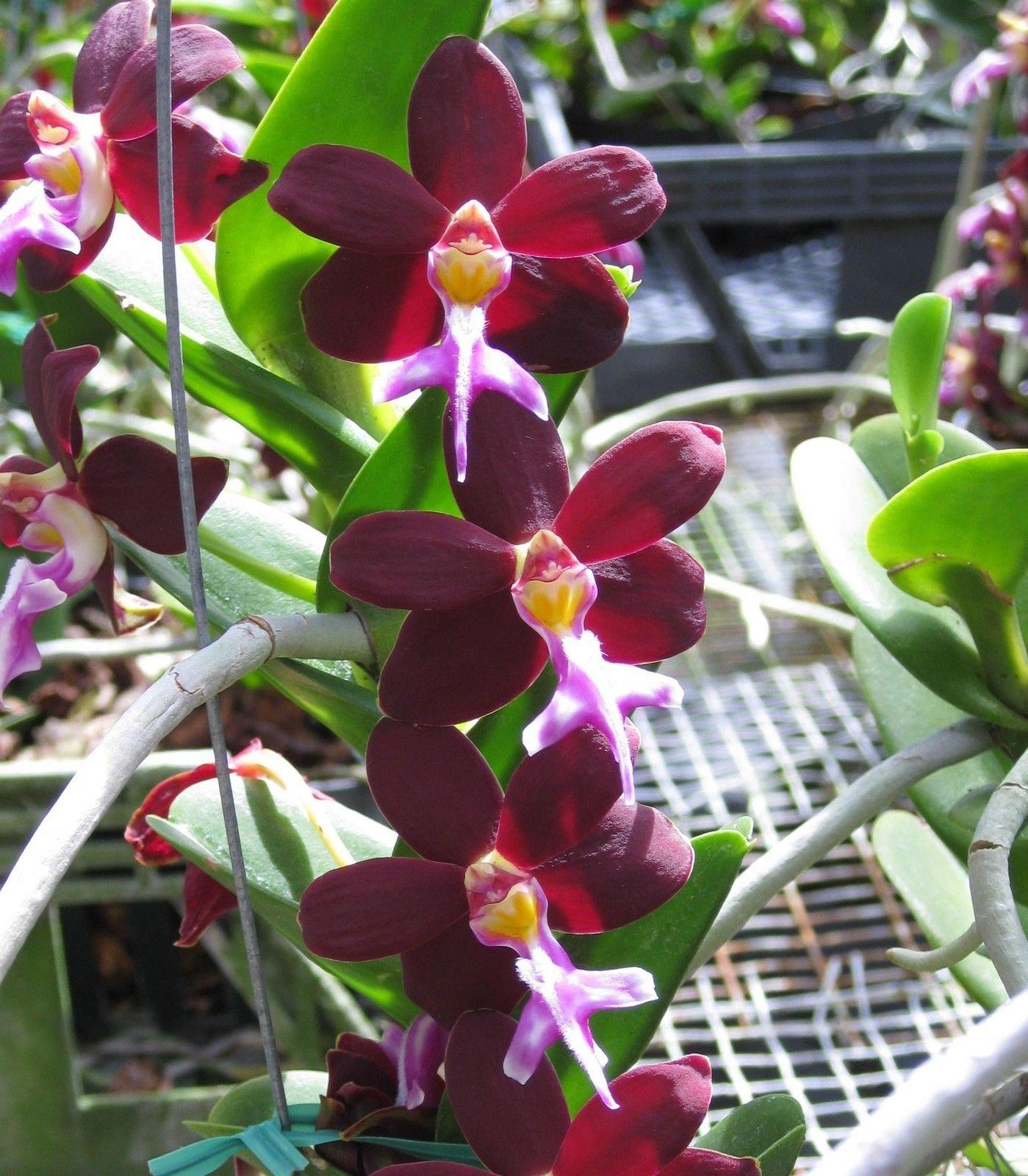 Trichoglottis brachiata x self- Collectors item! Blooming size! Unique! Nice- Orchid Plant