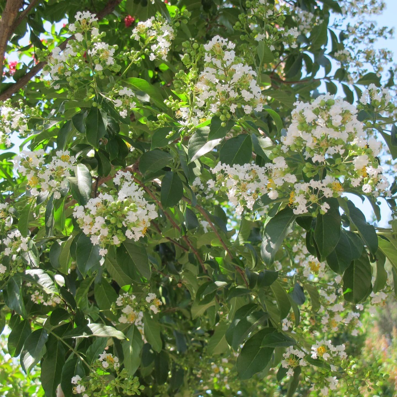 Picture of Live Crape Myrtle (white) aka Lagers. fauriei 'Natchez' std Plant Fit 5 Gallon Pot