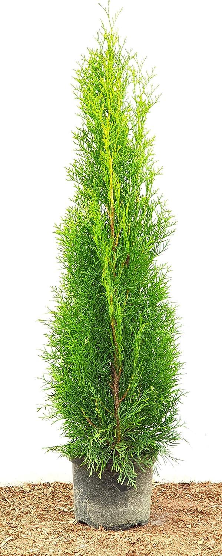 Platz 1 – Smaragd Lebensbaum Thuja occidentalis Smaragd (80 – 100 cm hoch)