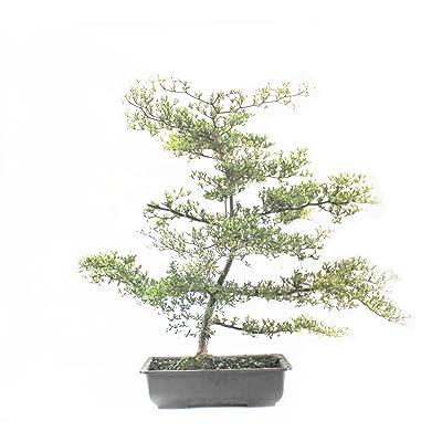 Indoorbonsaiandexotics Black Olive Bonsai Tree: Garden & Outdoor