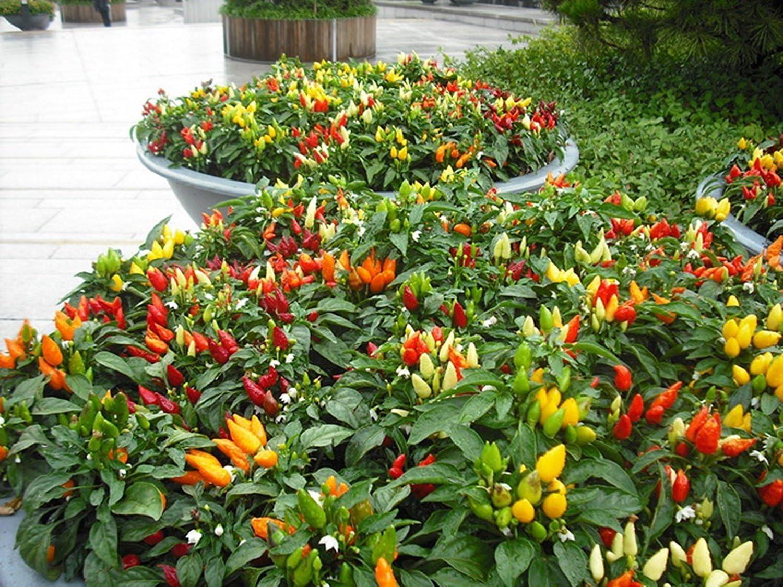 Ask Pepper Ornamental Christmas Tree    250 seeds  Need More