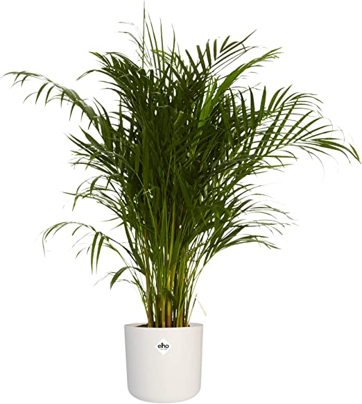 Areca dypsis lutescens Palma Areca en maceta blanca como un conjunto Altura: 125 cm Planta de interior de Botanicly