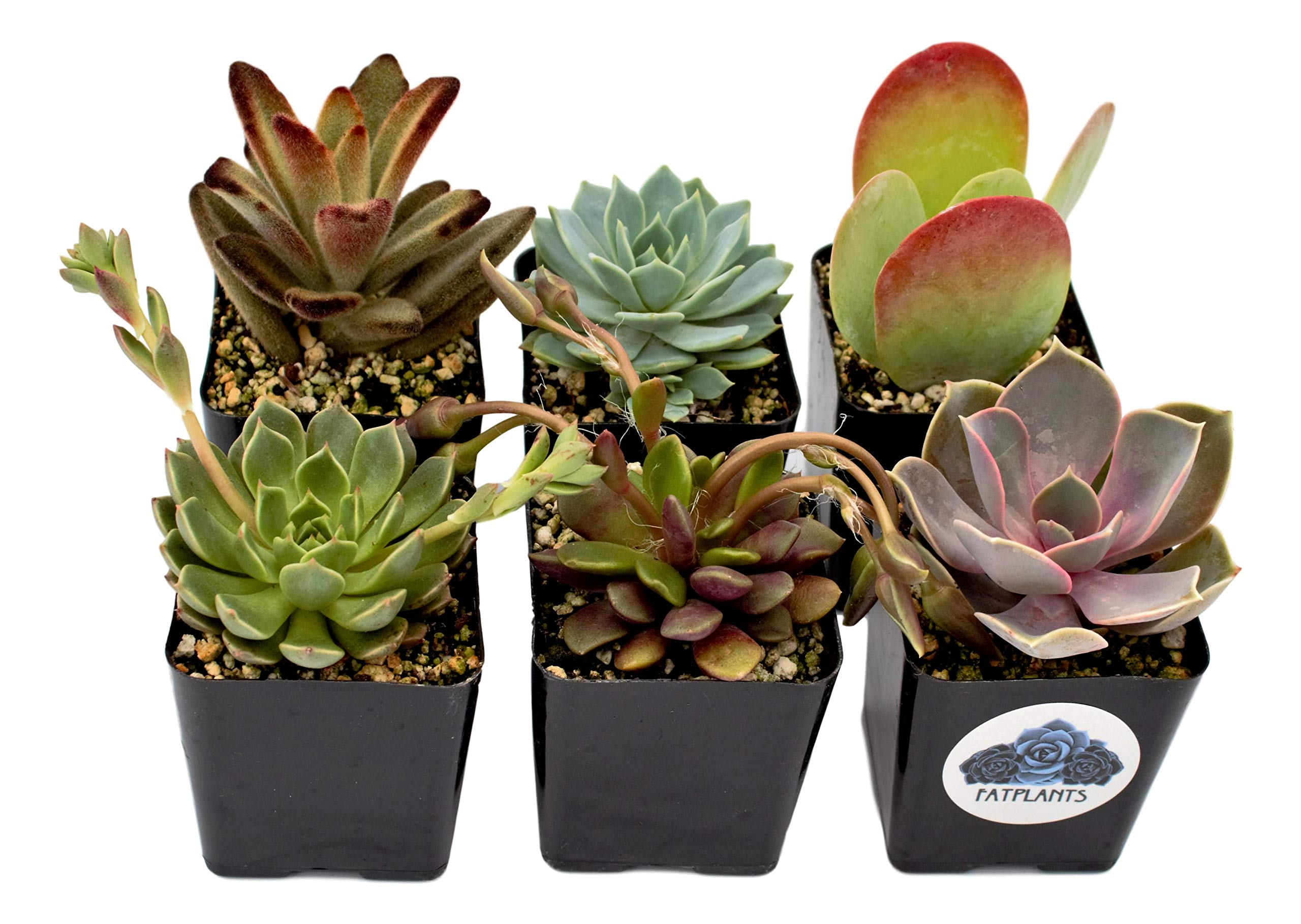 Fat Plants San Diego Premium Succulent Plant Variety Package. Live Indoor Succulents Rooted in Soil in a Plastic Growers Pot (6) by Fat Plants San Diego