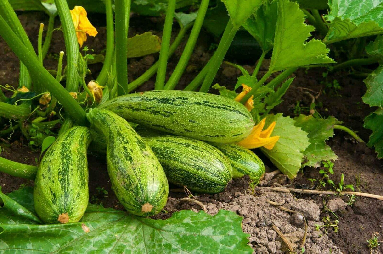 Squash Zucchini - Cucurbita Pepo Live Vegetable Plant Fit 1 Gallon Pot Garden