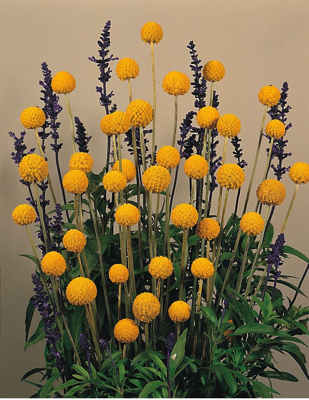 Just seed flower craspedia globosa drumstick 100 seeds just seed flower craspedia globosa drumstick 100 seeds amazon garden outdoors mightylinksfo