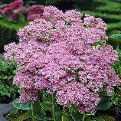 Van Zyverden 83702 Garden Succulent Sedum Brilliant Set of 3 Roots, 1, Pink : Garden & Outdoor