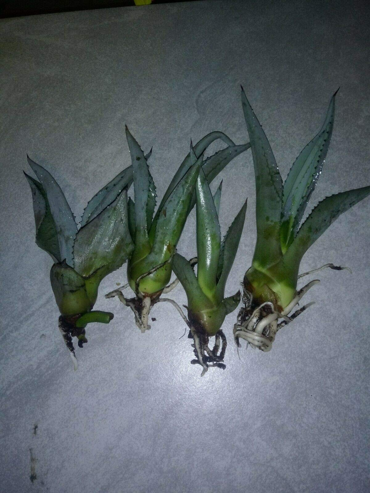 3 Live Agave Tequilana, Blue or Tequila Live Plant WCRF8