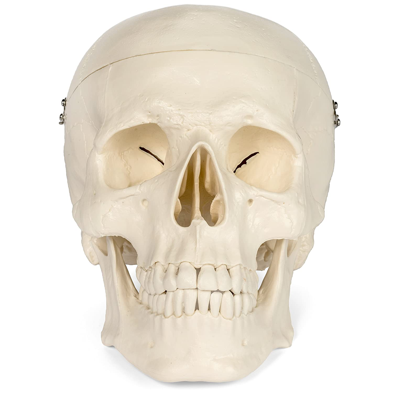 Maad Scientific Medical Anatomical Skull Model 3 Parts Life