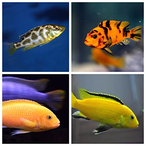 4 Assorted Lake Malawi Mbuna Cichlids 1.5-2 Inches - Live Tropical Aquarium  Fish
