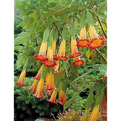 airrais Datura Seeds, 100pcs Datura Brugmansia Seeds Potted Bonsai Trumpets Angel Flower Seeds : Garden & Outdoor