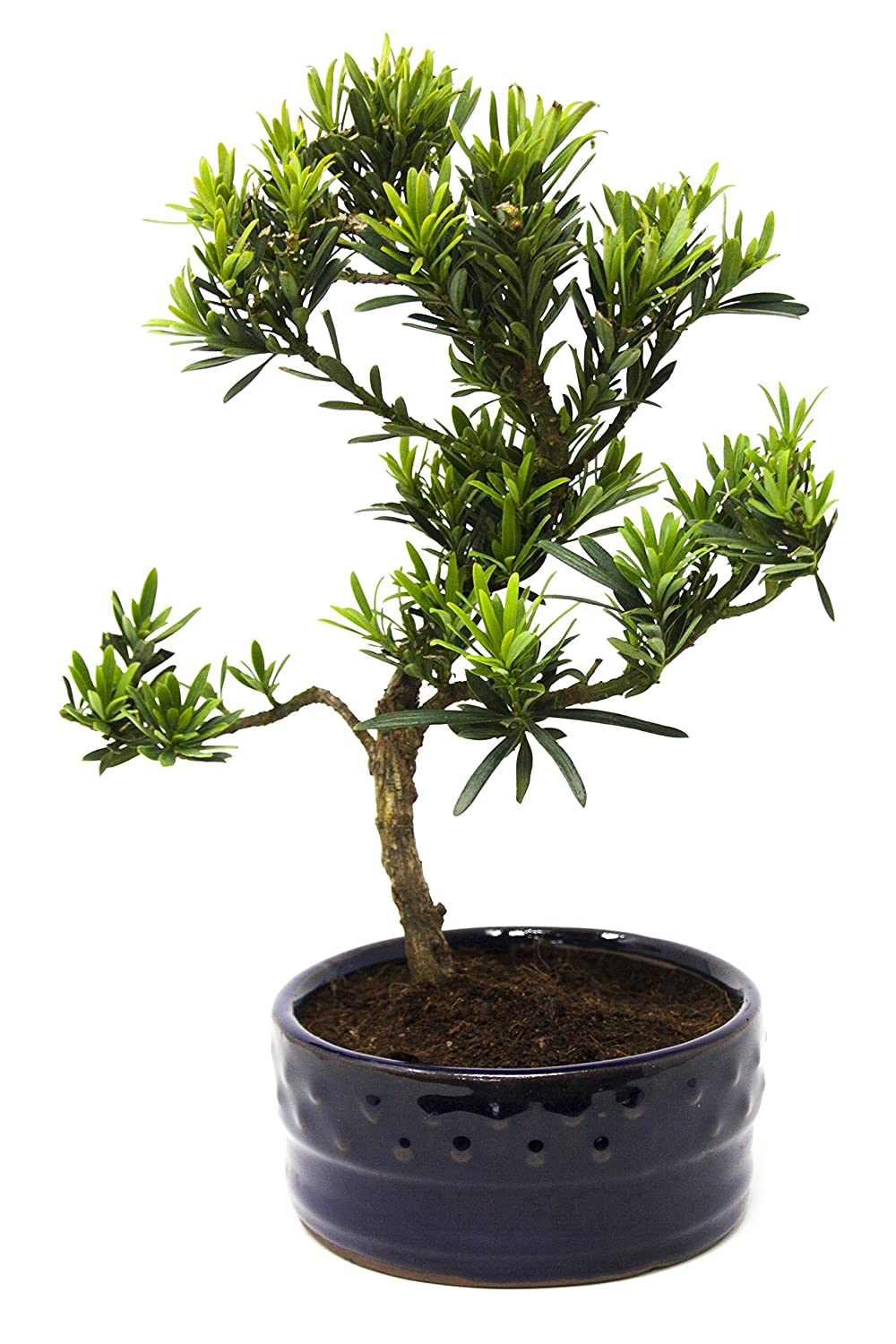Bonsai Tree Podocarpus Bonsai2u