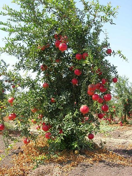 Liveseeds Punica Granatum Dwarf Pomegranate 10 seeds
