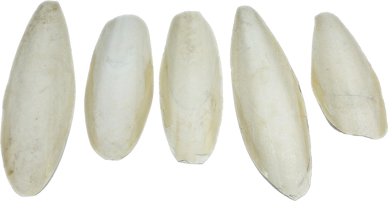 Britten & James 5 sepias grandes y naturales, de 5,5 a 8 pulgadas, 13-20 cm. Nuestras sepias grandes son adecuadas para periquitos, periquitos y canarios, tortugas, tortugas, caracoles y tortugas.