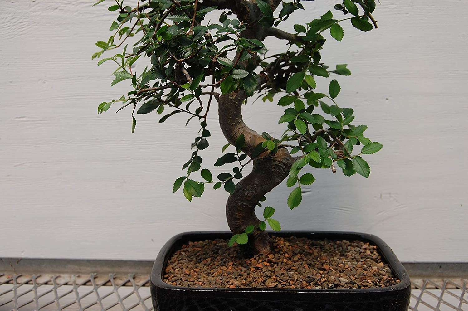 Curved Thick And Hardy Trunk Large 12 Year Chinese Elm Bonsai Tree