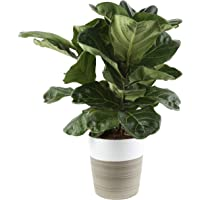 Costa Farms Live Ficus Lyrata, Fiddle-Leaf Fig, Indoor Tree, 2-Feet Tall, Ships in Décor Planter, Fresh From Our Farm