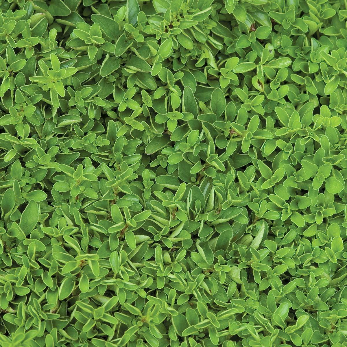 Burpee Sweet Marjoram Seeds 2000 seeds