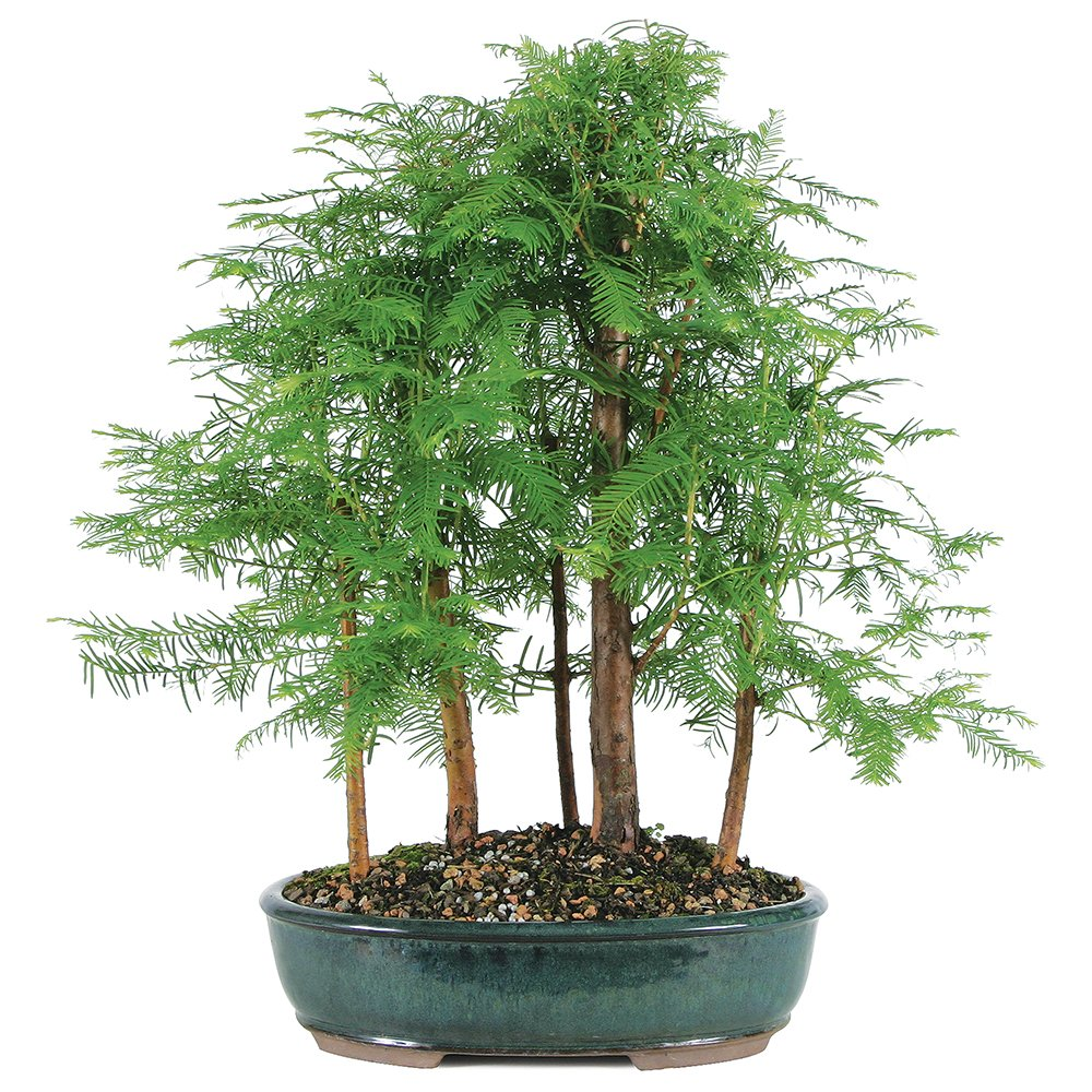Brussel's Live Dawn Redwood Grove Outdoor Bonsai Tree - 5 Years Old; 10'' to 14'' Tall with Decorative Container by Brussel's Bonsai