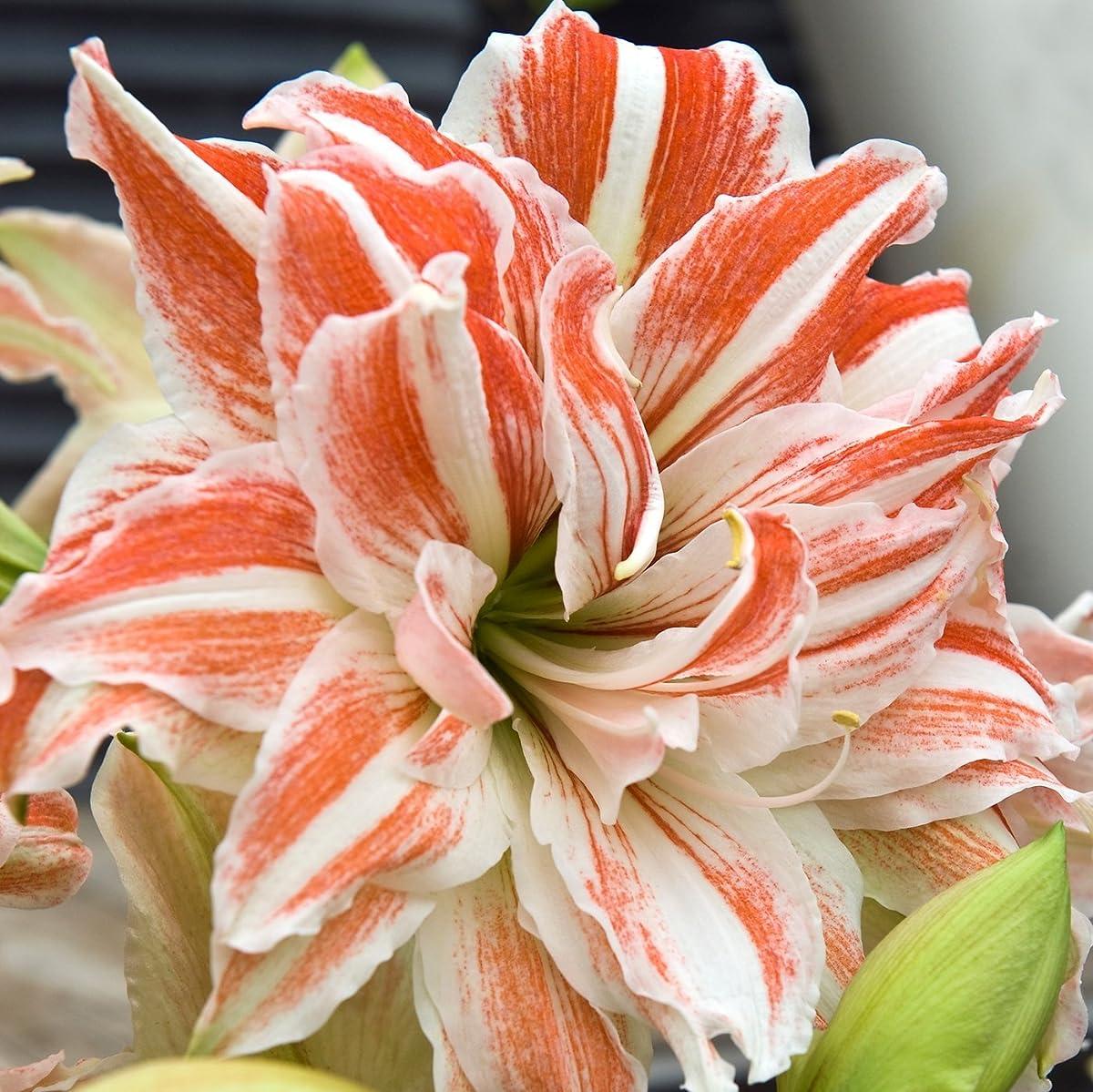 Double Amaryllis Dancing Queen - 1 bulb - 30/32 cm Amaryllis Bulbs - Double Flowering Amaryllis Bulbs
