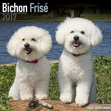 bichon calendar 2017 bichon frise dog breed calendars 2016
