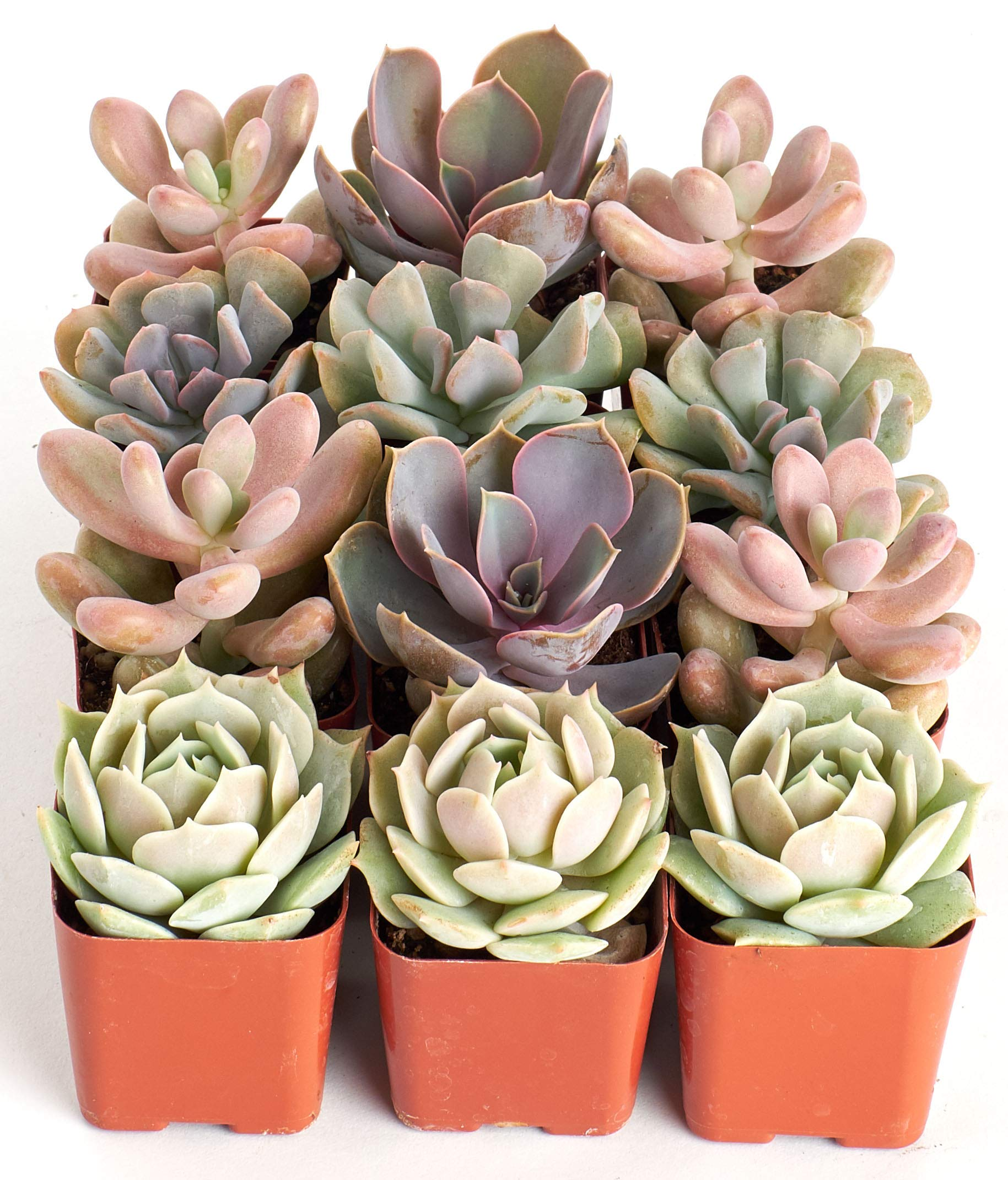 Shop Succulents | It's A Girl! Pink Collection of Live Succulent Plants, Hand Selected Variety Pack of Mini Succulents in Pastel Pink Colors | Collection of 12 by Shop Succulents