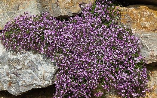 ROTES SEIFENKRAUT 50 Samen Saponaria Ocymoides