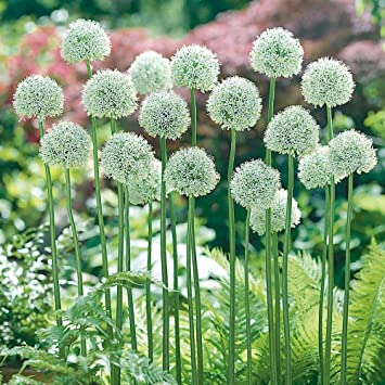 Allium mount everest pack of 3 bulbs size 1820 spring flowers allium mount everest pack of 3 bulbs size 1820 spring flowers plants mightylinksfo