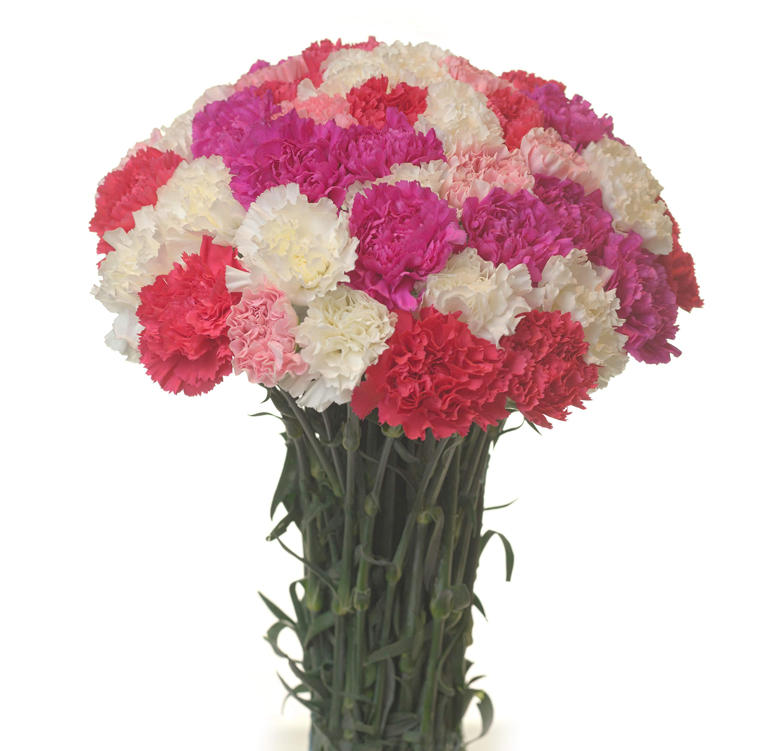 Carnations Special Holidays Pack (75, Mother´s)