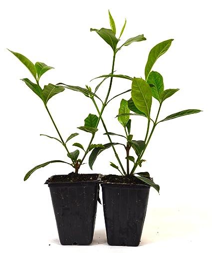 9GreenBox , Gardenia Jasminoides \u0027Veitchii\u0027 , Fragrant , 2 Pack