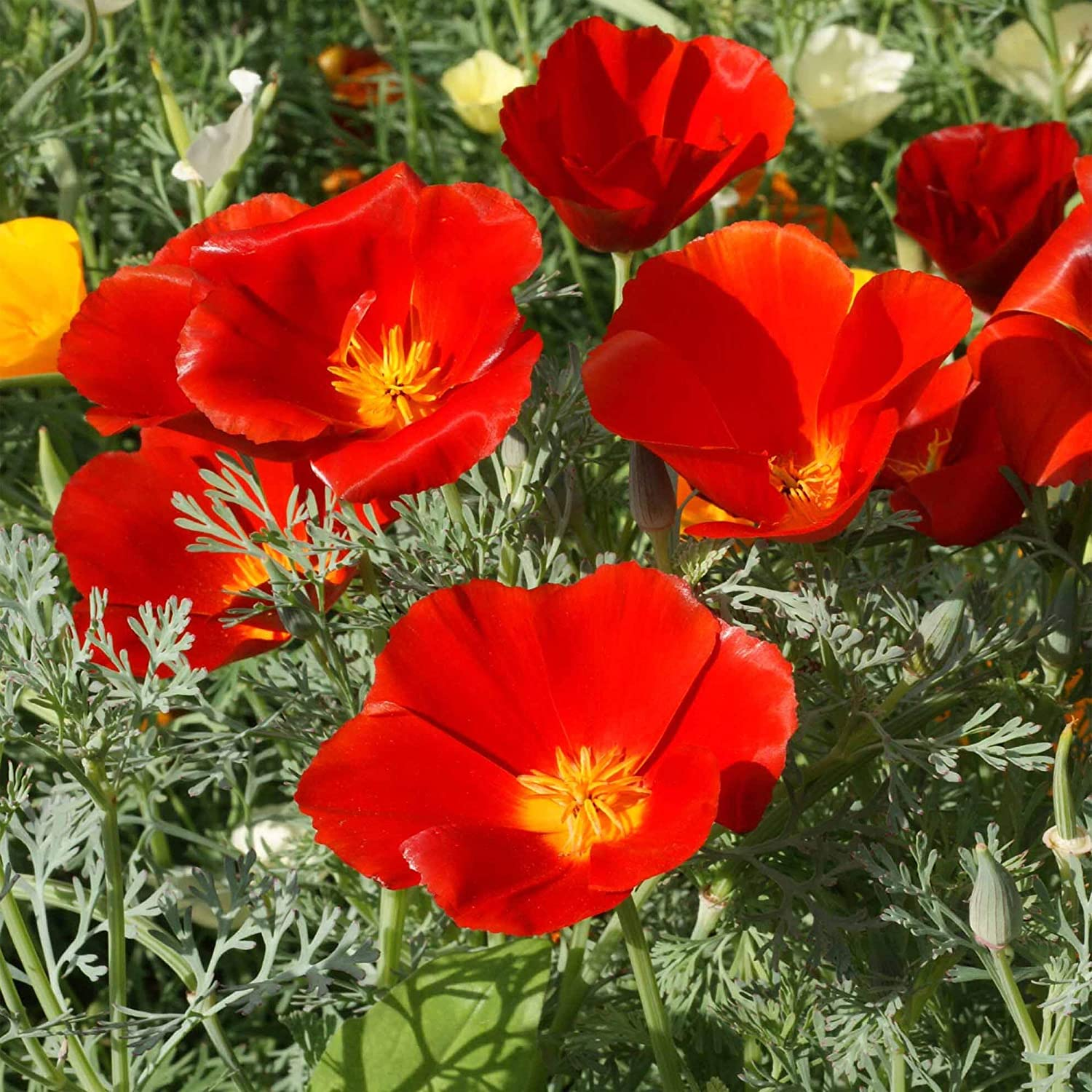 Red Chief Poppy Seeds, 2000 Heirloom Seeds Per Packet, Non GMO Seeds