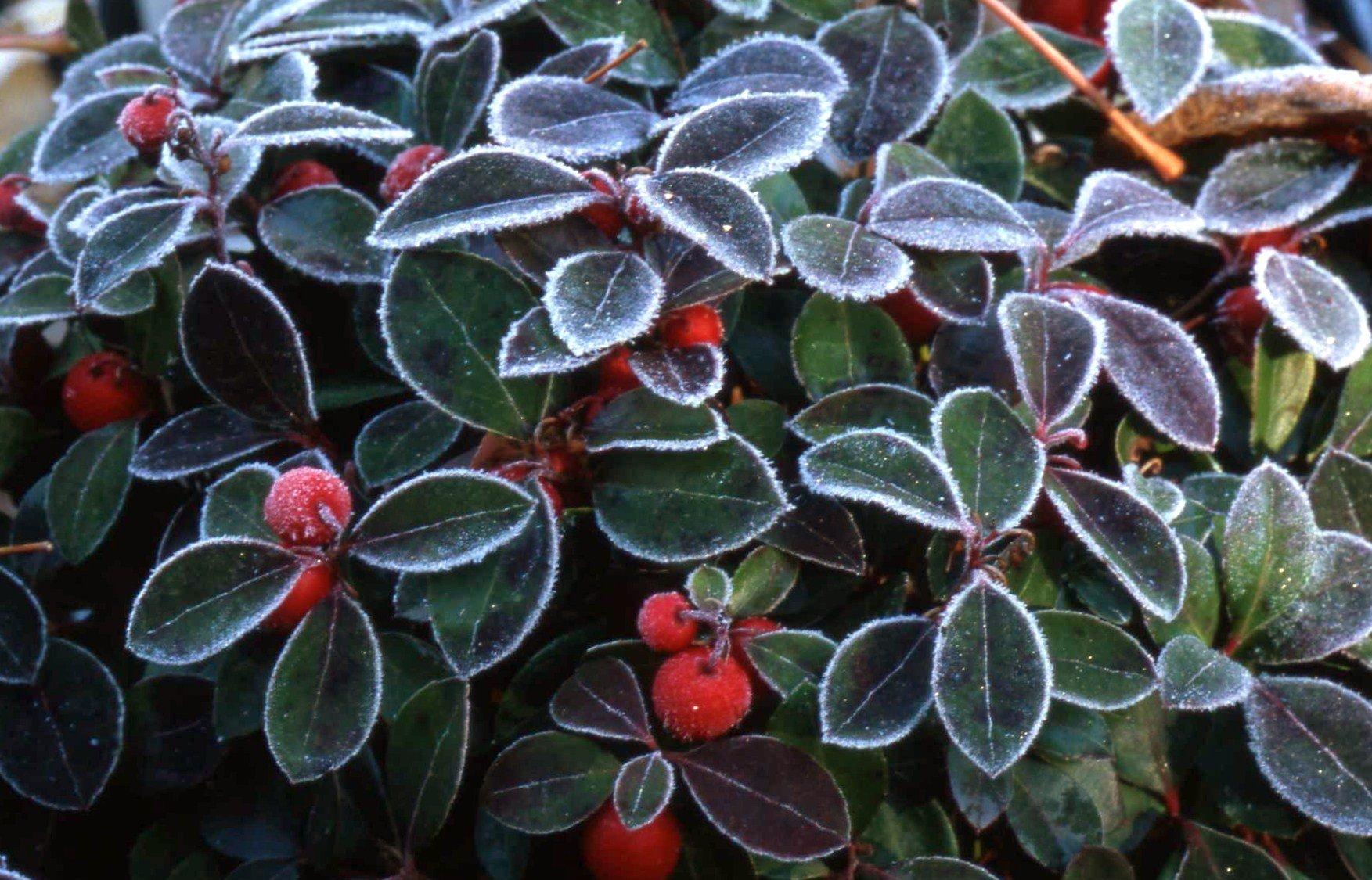 Gaultheria procumbens Teaberry, 1 GAL