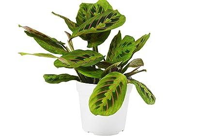 Red Prayer Plant 'Maranta' - Live House Plant - FREE Care Guide - 4