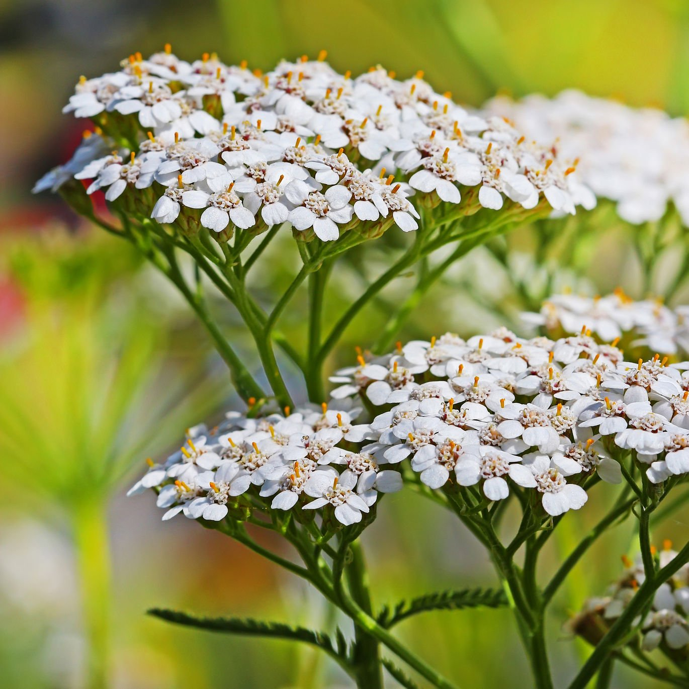 White Yarrow (Achillea millefolium) Seed Balls, Fall or Spring Planting, Bulk Seed Bombs for Guerrilla Gardening (50) by Seed-Balls.com