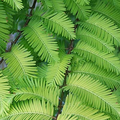60 Dawn Redwood Metasequoia Glyptostroboides Tree Seeds WL #RR12 : Garden & Outdoor