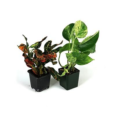 Small Crested Gecko Vivarium Plant Kit : Garden & Outdoor