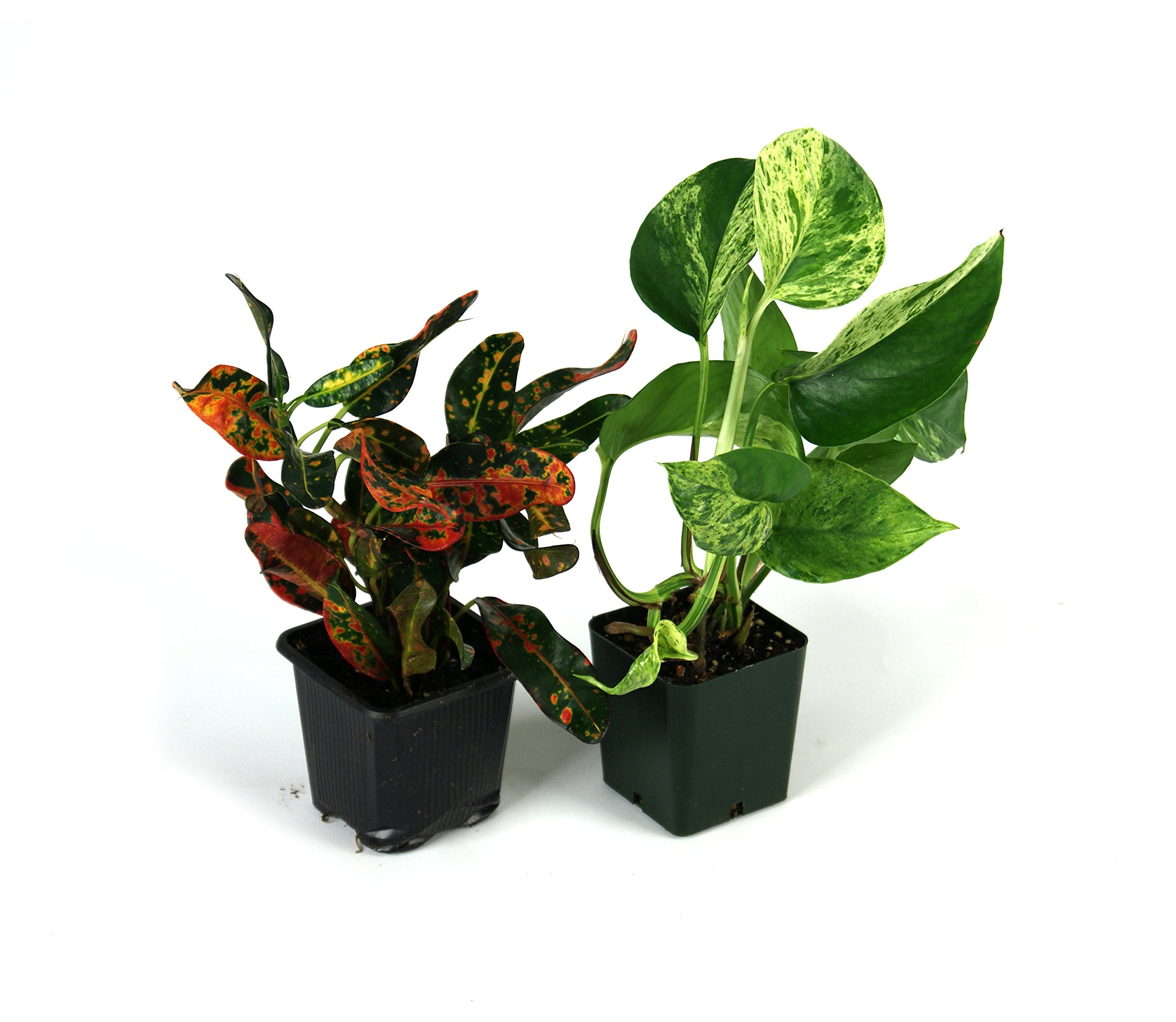Small Crested Gecko Vivarium Plant Kit
