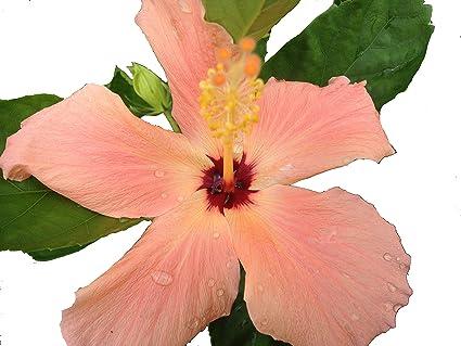 Amazoncom Little Tiger Tropical Landscape Hibiscus Live Plant