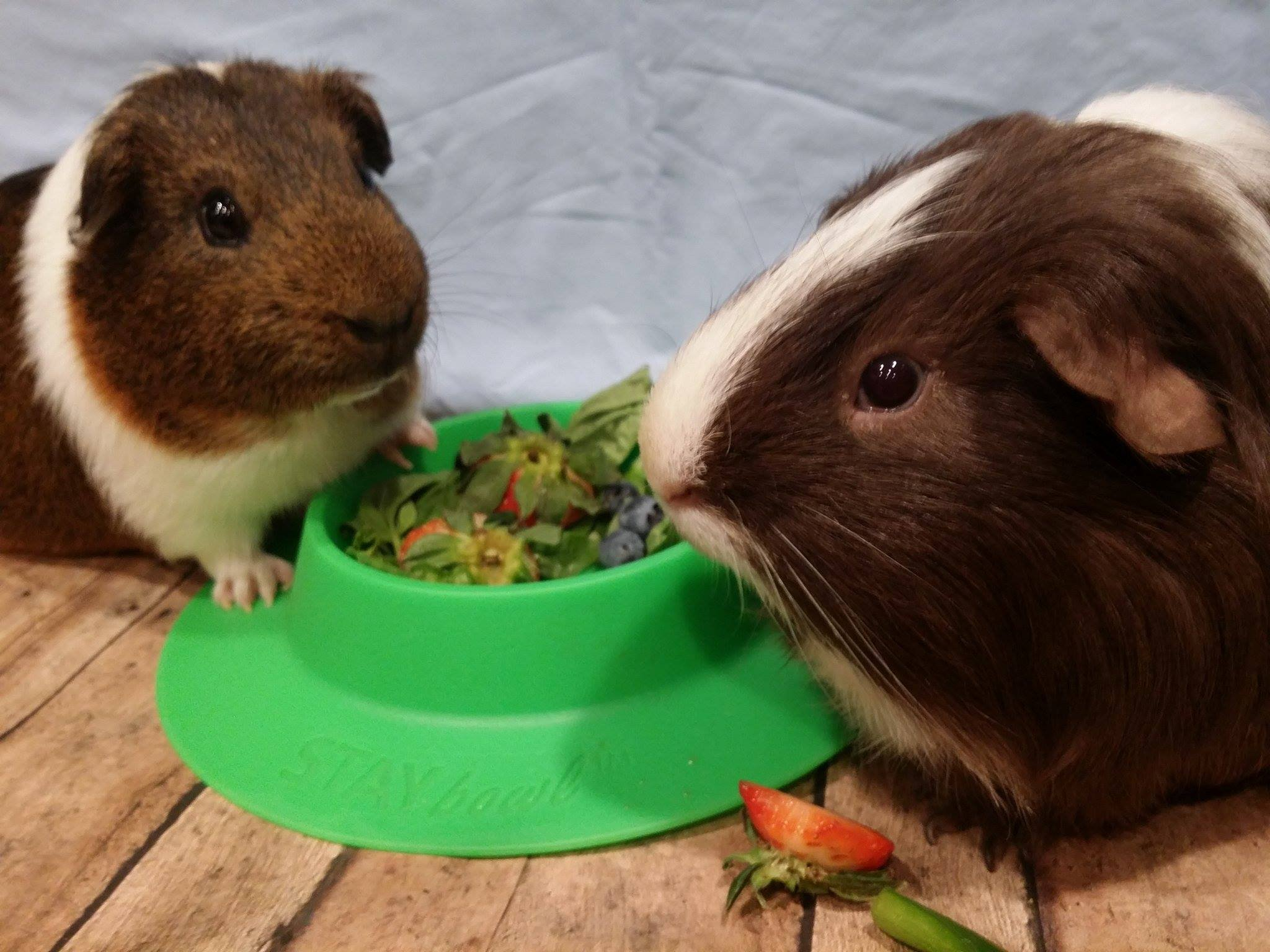 STAYbowl Tip-Proof Bowl for Guinea Pigs and Other Small Pets - Spring Green - Large 3/4 Cup Size New