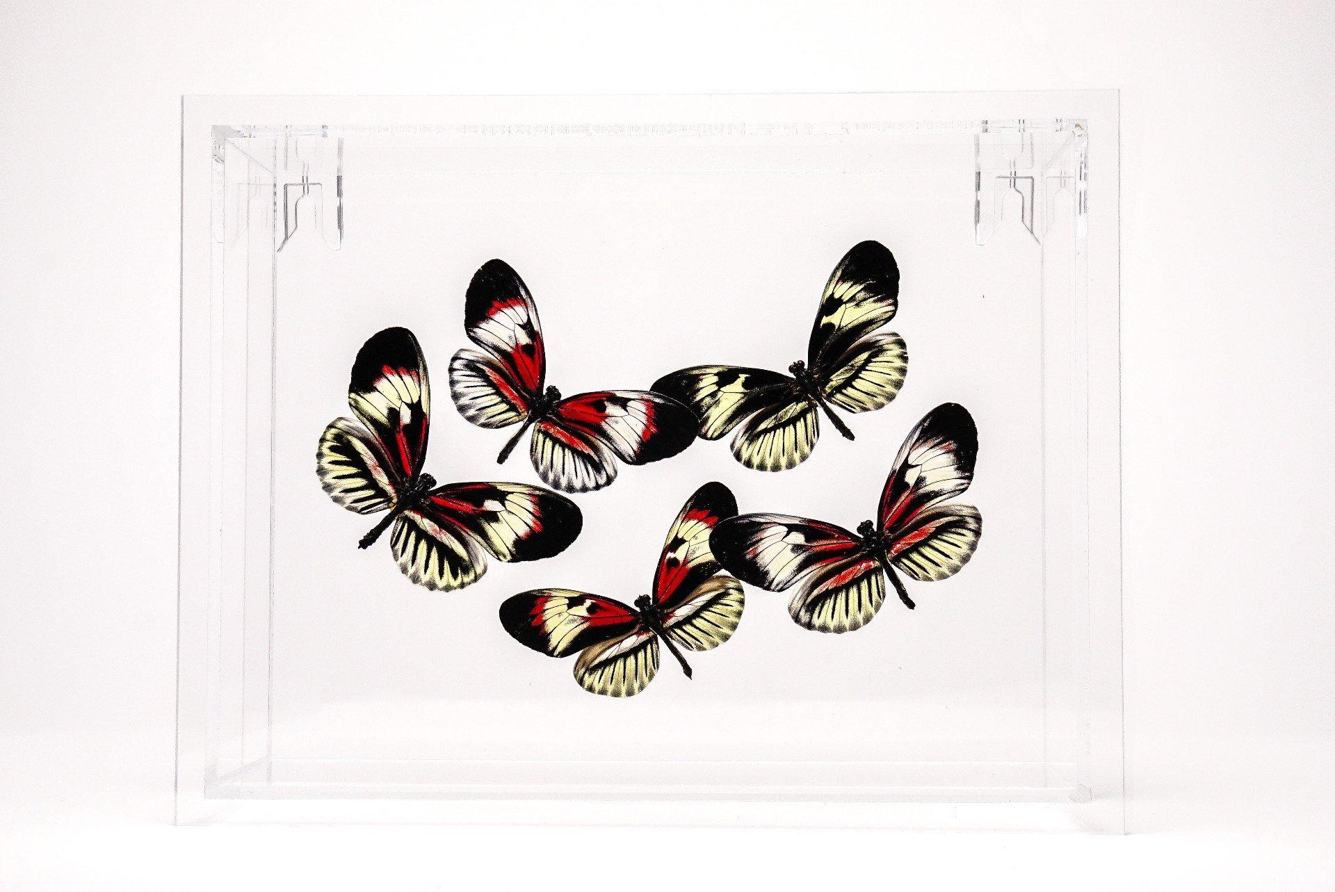 Astro Gallery Of Gems Piano Key Butterflies in 6x8 Frame by Astro Gallery Of Gems