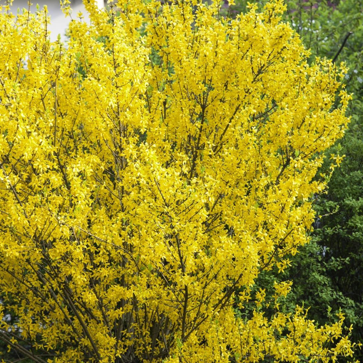 Goldglöckchen Forsythia Strauch gelb blühend 1 Pflanze Amazon