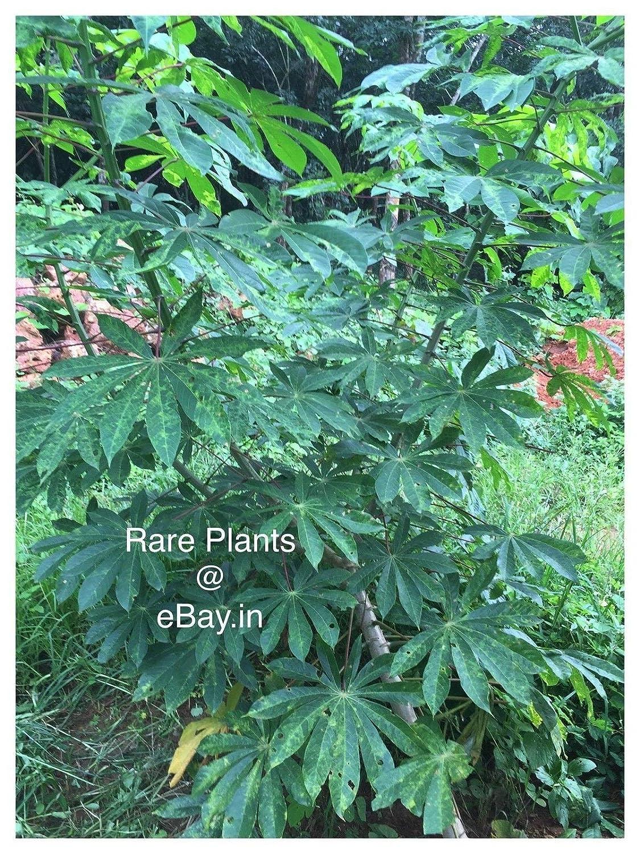 5 inch Stem Cuttings for Growing Manihot Esculenta or Cassava Tapioca