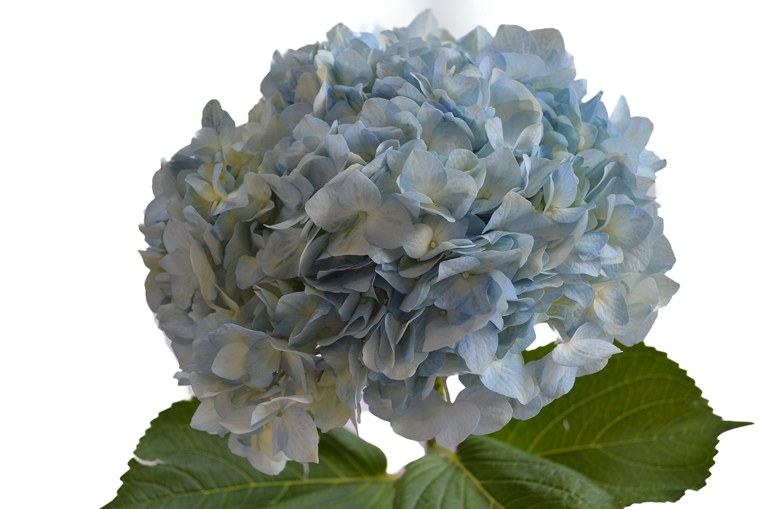 Blooms2Door 15 Blue Hydrangeas (Farm-Fresh, Naturally Colored, Premium Quality) by Blooms2Door (Image #3)