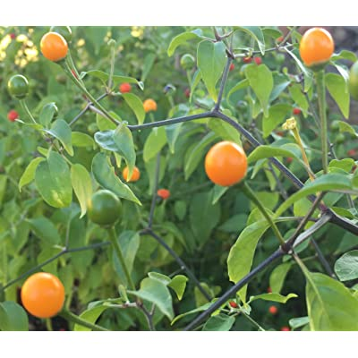 Amarillo Yellow Chiltepin Heirloom Pepper Premium Seed Packet + More : Garden & Outdoor