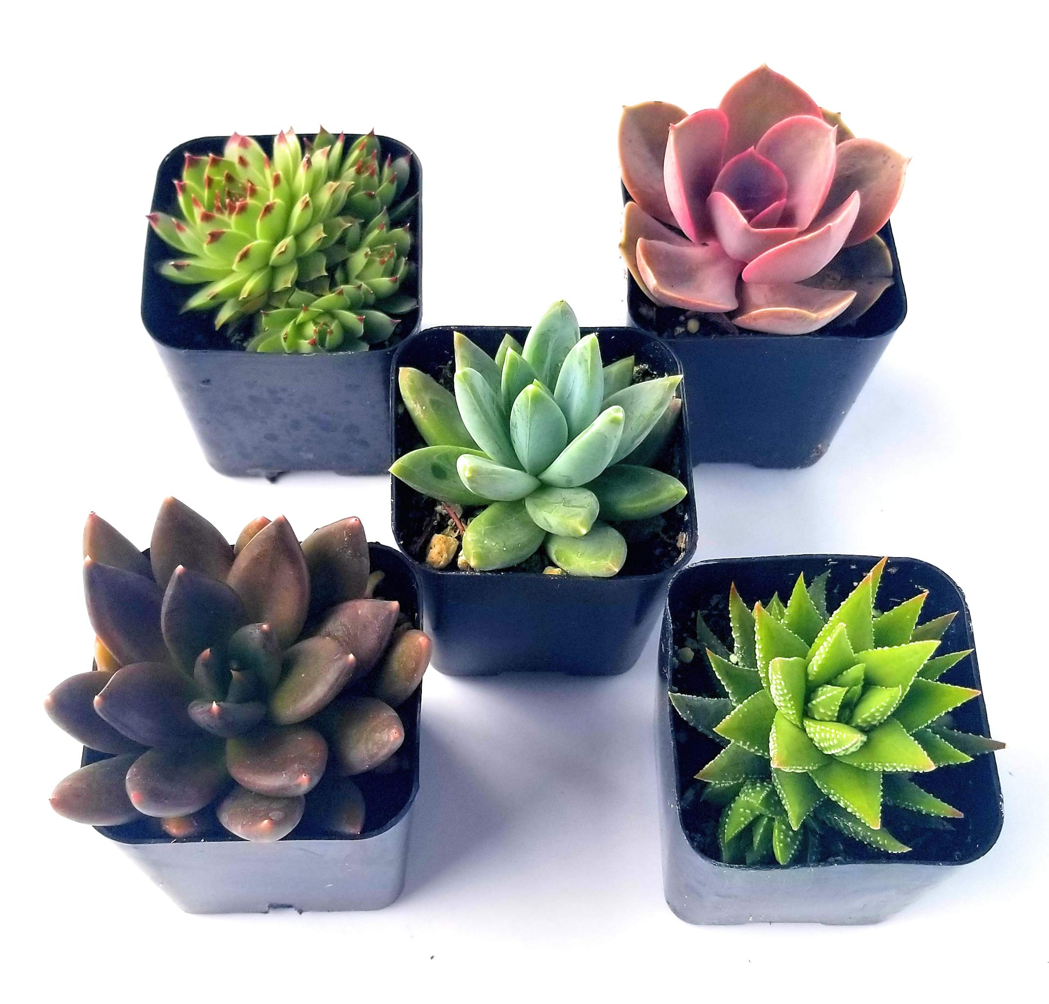 Fat Plants San Diego Miniature Living Succulent Plants in Plastic Planter Pots with Soil by Fat Plants San Diego