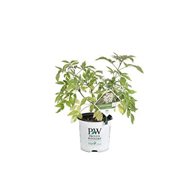 Instant Karma Elderberry (Sambucus) Live Shrub, White Flowers and Variegated Foliage, 1 Gallon: Garden & Outdoor