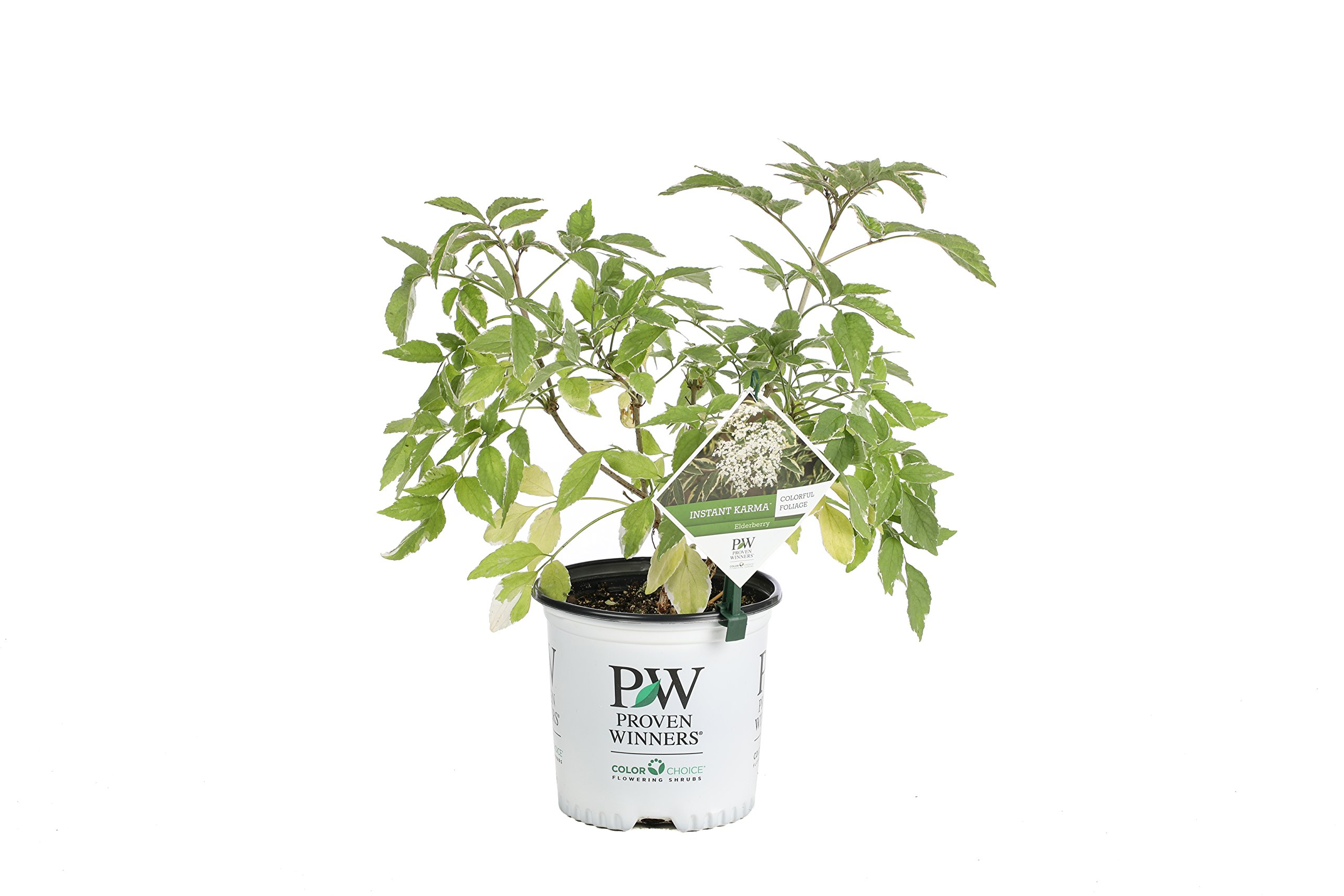 Instant Karma Elderberry (Sambucus) Live Shrub, White Flowers and Variegated Foliage, 1 Gallon by Proven Winners (Image #1)