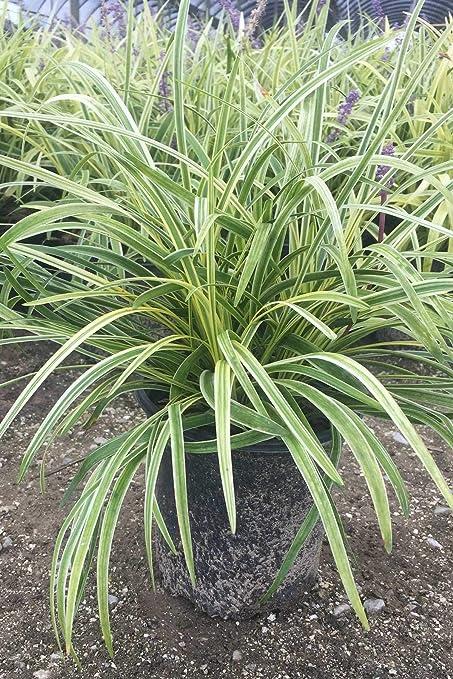 Amazoncom Liriope Variegated Grass Ground Cover Ornamental