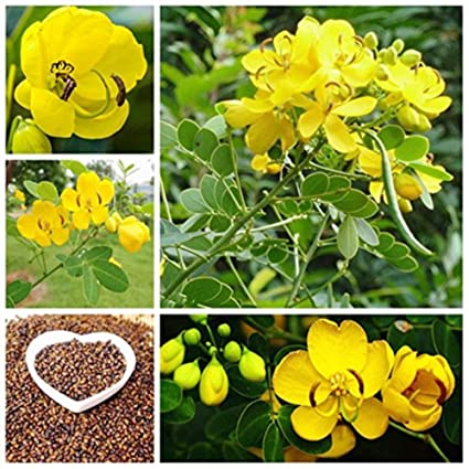 Amazon com: 20 Seeds Chinese Herbal Cassiae Seeds High